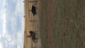 Working ranch qh