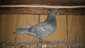 PIGEONS (Rollers) for sale