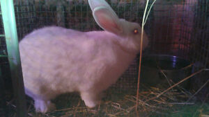 white new zealand rabbits for sale