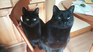 Lost - 6 Year Old All Black Male Cat in Fort Ellis/Alton Area