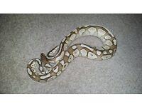 Royal Pythons For Sale