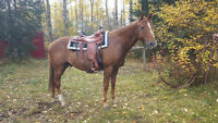 """Tanner"" thoroughbred quarter horse gelding"