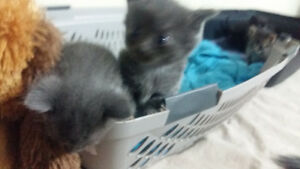 Russian Blue kittens(born on Mothers day)