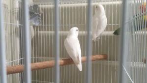 White Fisher Lovebirds