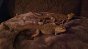 Two Lovely Bearded Dragons For Sale