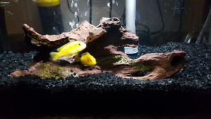Two Electric Yellow African Cichlid for rehoming