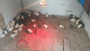 Laying hens chicks & meat birds