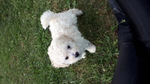 caniche toy male  blanc petit chien
