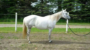 Registered Quarter Horse Mare Peterborough Peterborough Area image 4