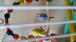 2 Lovely budgies/fancy parakeets For Sale, Pete and Coco