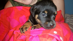 Rottweiler Puppies-Ready in November with shots etc..
