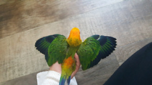 one baby Sun Conure is available