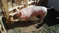 2 Very friendly Gilts for sale