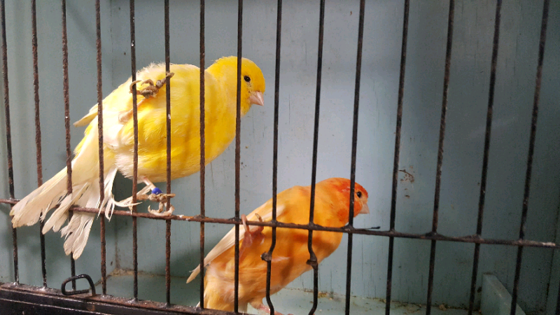 Budgies and Canaries for sale  for sale  Enfield, North London