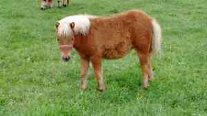 Miniature Filly