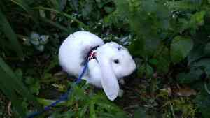 English Lop looking for a home!
