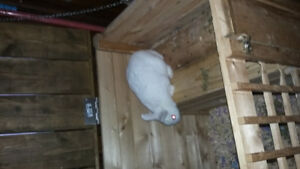 Small white Rabbit and large cage