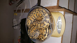 Female ball pythons