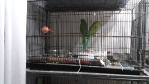 2 ringneck and cage