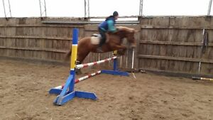 fancy large 14.2h measured WB pony