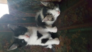 2 beautiful female kittens to give away to good loving homes !
