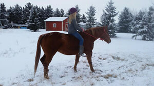 QH/Arabian mare for sale *PRICE REDUCED!!* Great deal!! Strathcona County Edmonton Area image 9