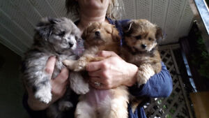 Sweet Maltipoo poms non shed West Kelowna