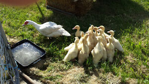 Muskovie Ducklings for sale