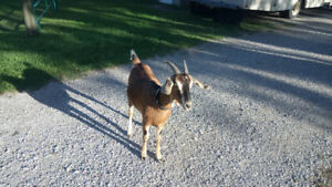 Goat Nannies for sale