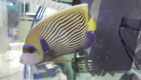 Showsize Emperor angelfish 6""