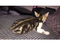Lovely tabby male kitten for sale