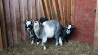 Yearling Billy Goats