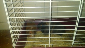 GUINEA PIGS...NEED GONE ASAP