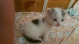 Ragdoll x main coon x kittens
