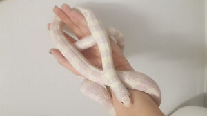 Albino king snake female
