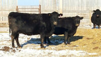40 YOUNG BLACK ANGUS COWS