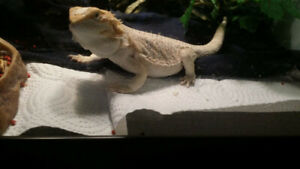 "Hypomelanic Bearded Dragon 14""+"