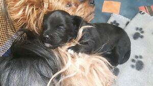 Adorable MORKIE Furbabies.. (Little Girl AVAILABLE!)