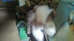 Rats born 6/20/18 & 6/23/18 for sale