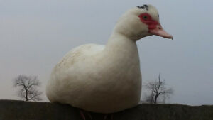Muscovy Hens