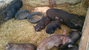 Kunekune x Large Black Proven Sow