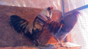 Poule et coq a vendre