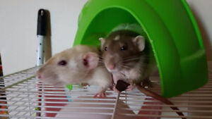 Two dumbo eared male rats