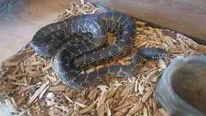 Florida king snake for sale or trade
