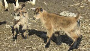 Pygmy Goatlings