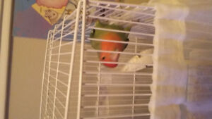 Male love bird looking for new home