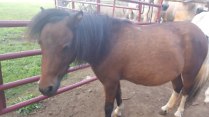 Miniature Horses selling as a pair $800
