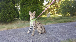 F2 Savannah Kittens Available similar to a bengal cat :)