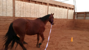 Companion Mare for Free Lease