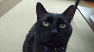 Loving Manx cat in need of a good home